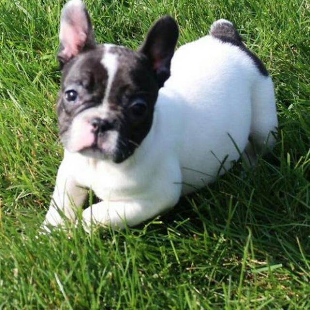 Cute french bulldog pictures