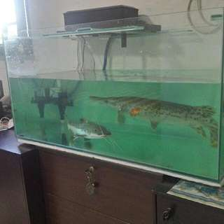 3ft By 1.5ft Fish Tank Full Set Plus Alligator Gar & Leapord Catfish