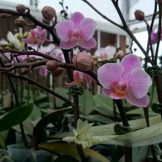 盆栽 蘭花 蘭花花  批發 零售