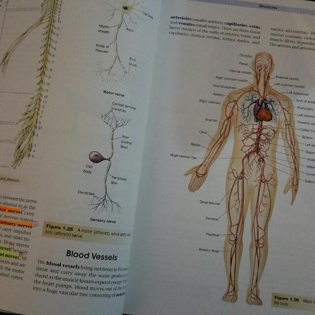 "Image result for Kinetic Anatomy, 2nd Ed - Robert S. Behnke"""