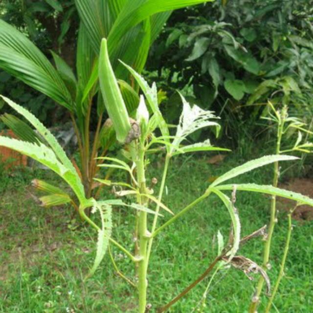 Okra Lady Finger Plant Saplings Bulletin Board Preorders On Carou