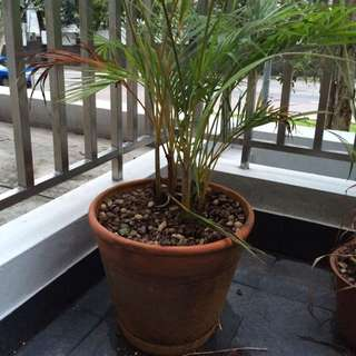 Large Pots With Palms $15 Each