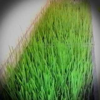 🌱新鮮貓草/貓草種子/貓草盆栽🌱