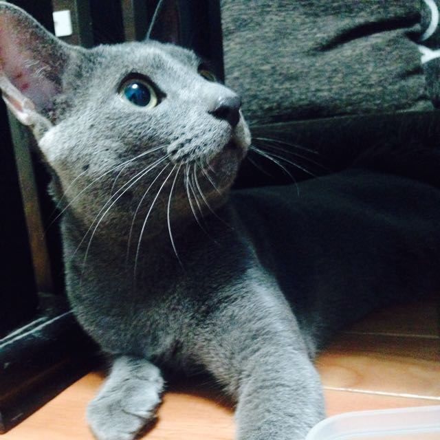 藍貓  黑龍