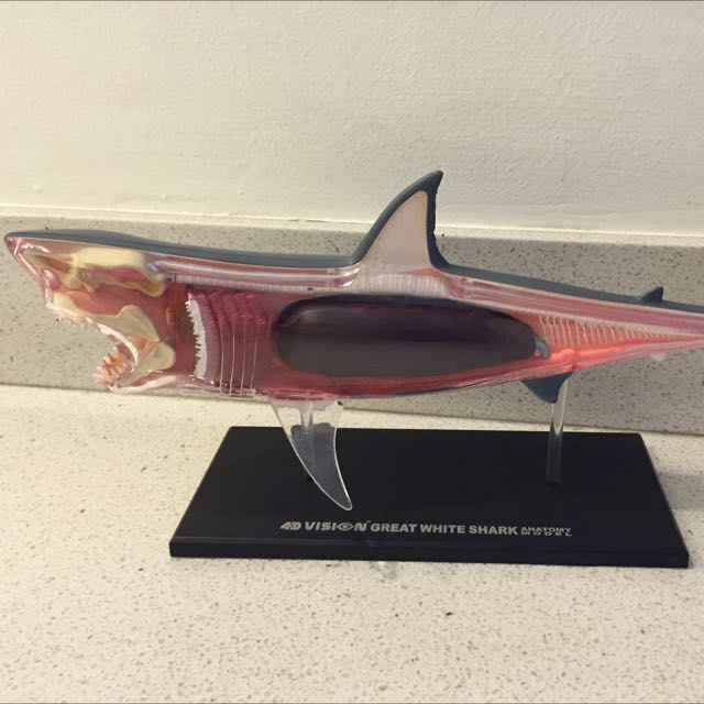 Pre Loved 4D Vision Great White Shark a Anatomy Model, Design ...