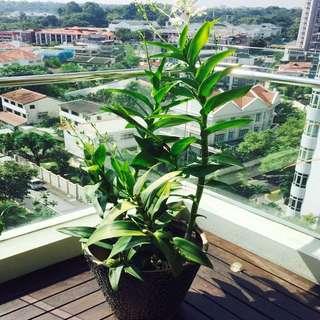 Dendrobium Orchids/ White Flower