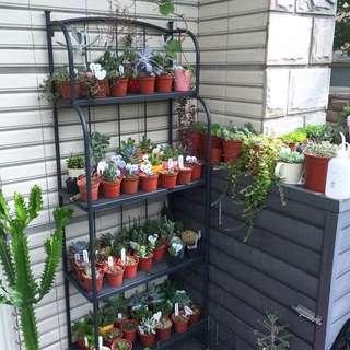 米娜的多肉植物小花園🌵