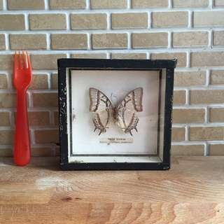 Real Tiger Nawab Butterfly for wall decor