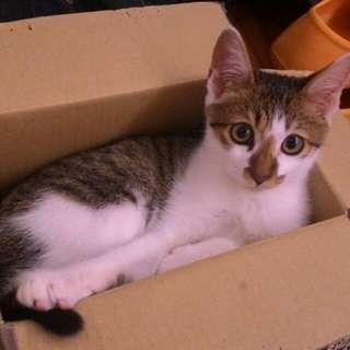 我的寶貝齁米貓貓 白底虎斑米克斯