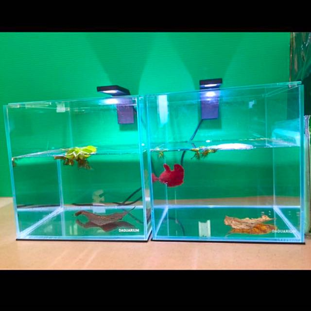 Giant betta tank for sale pet accessories on carousell for Large betta fish tank
