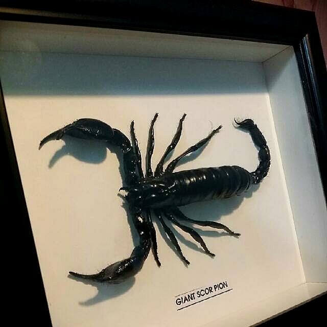 Giant Emperor Scorpion Specimen (Brand New, Glass Cover; Large Black Frame, Preserved Insect Taxidermy, Unique Ornament, Collector's Item)