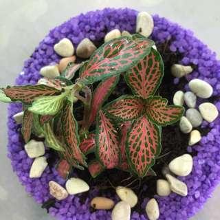 Purple Terrarium (Real Plant)