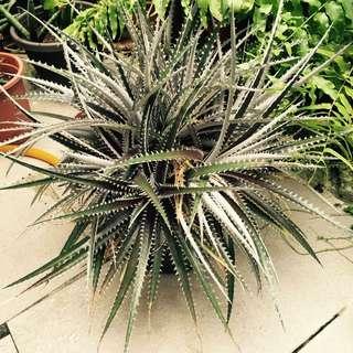 多肉植物  沙漠鳳梨🍍