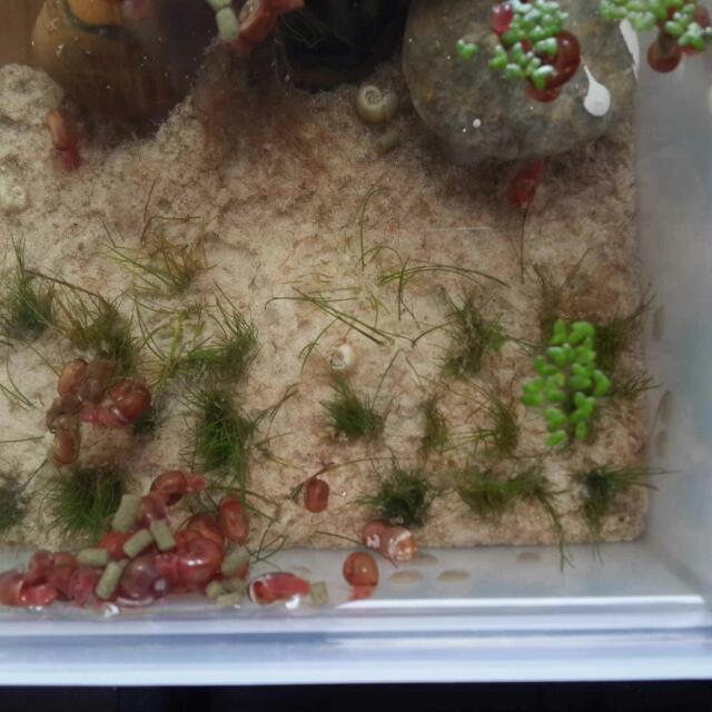 Healthy Ramshorn Snails