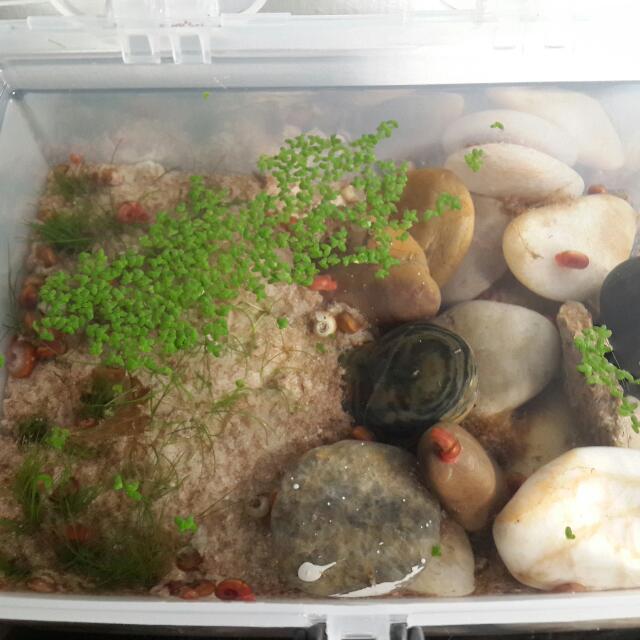 Healthy Ramshorn Snail