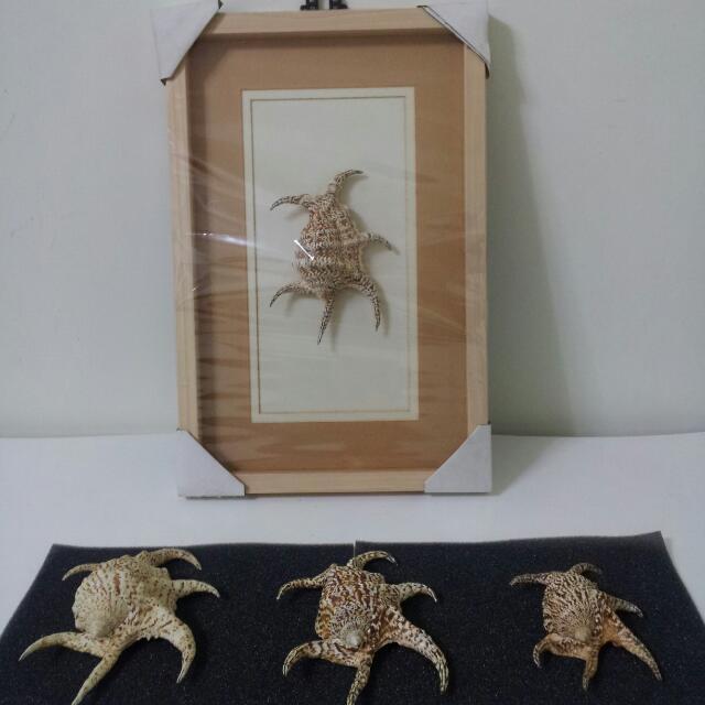 貝殼(水字螺)掛畫