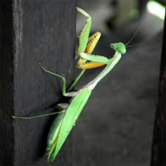 an analysis of the topic of the mantodea praying mantis