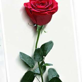 1 Stalk Rose (With Wrapper + Ribbon)