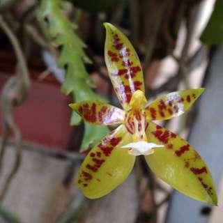 ORCHID - Phalaenopsis cornu-cervi