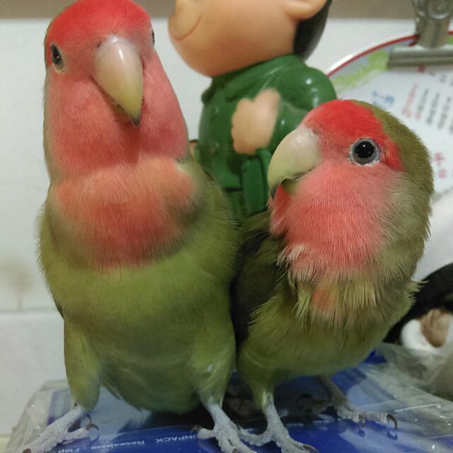 愛亂咬人的鸚鵡 小鸚 小鳥 交叫 Bird Parrot