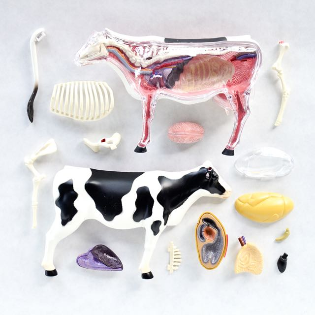 4d Vision Cow Anatomy Design Craft On Carousell