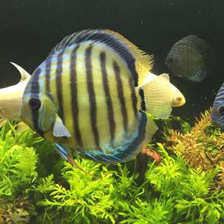 Wild Green Discus (4.5-5inch) (reserved)