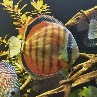 Wild Brown Discus (6-6.5inches) (reserved)