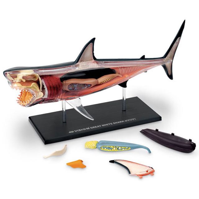 4D Vision Great White Shark Anatomy Model, Toys & Games on Carousell