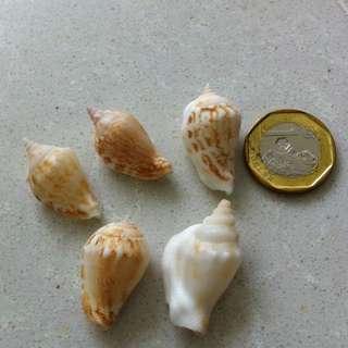 Family Of 5 Seashells