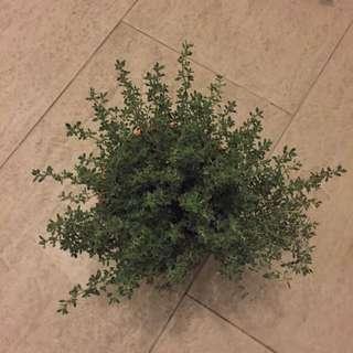 Thyme Edible Organic Herb Plant