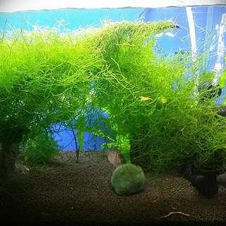 Adopting Aquarium Fishes!! community Fishes