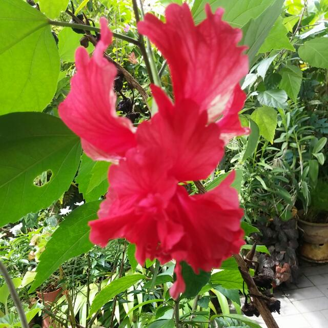 Hibiscus Red Double Petal Baby Plant Gardening On Carousell