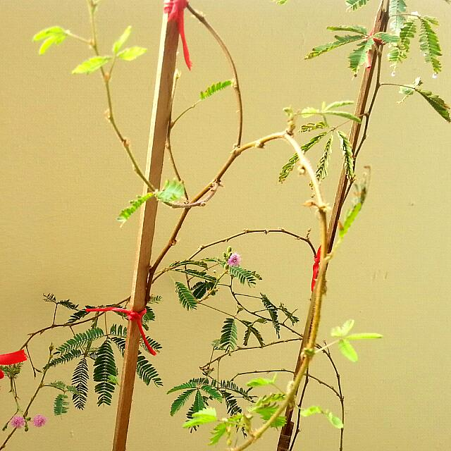 Reserved] Mimosa Pudica Plant/Bonsai - Touch Me Not! (Seeds
