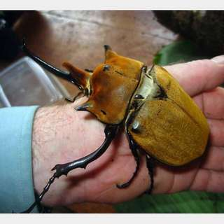 Hercules Beetle Pet For Sale Onlinecitasfinkfa S Blog