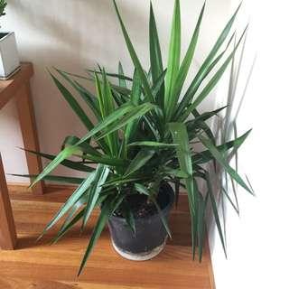 Yukka Plants
