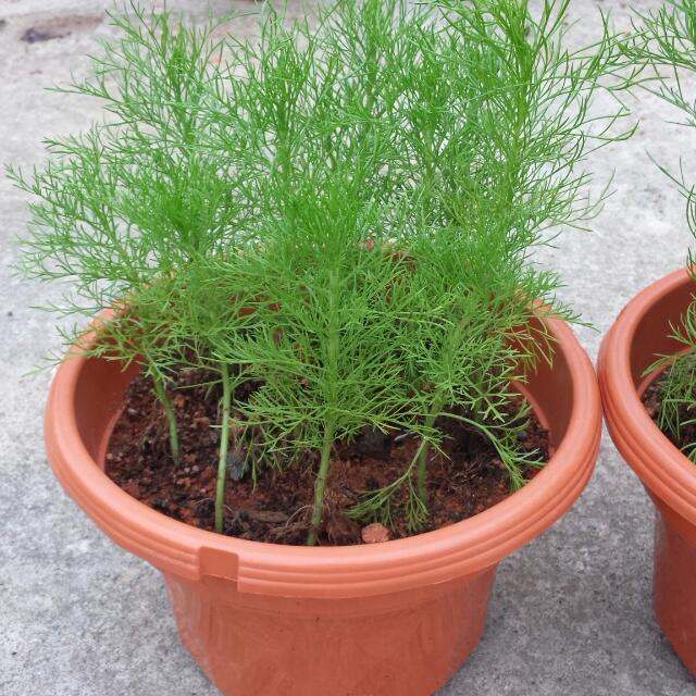 Herb Plant - Dill🌿