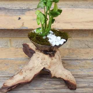 Vase Over Drift Wood