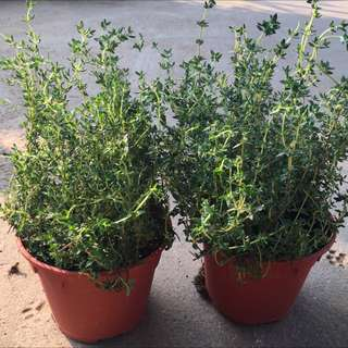 Aromatic Thyme (Non-Variegated)😍☘