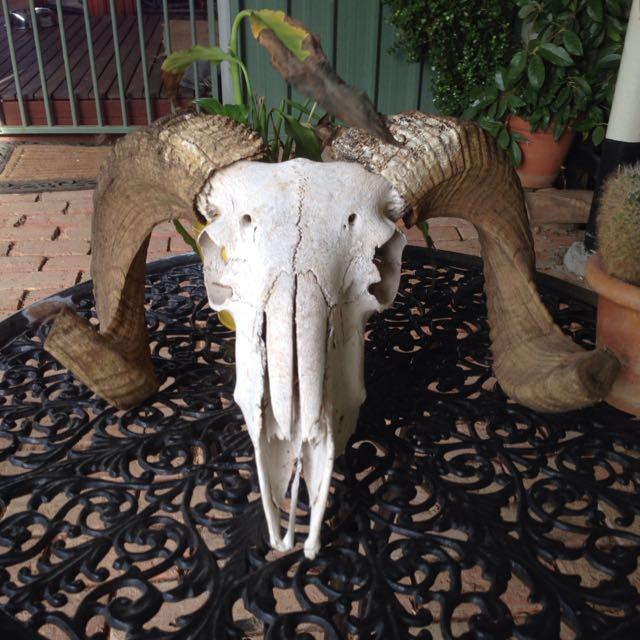 Merino Ram Sheep Skull