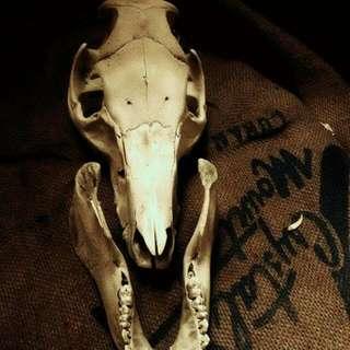 🚚 豬 頭骨 擺飾 標本 真品 骸骨