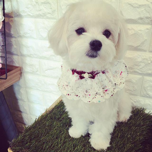 現貨·寵物領巾
