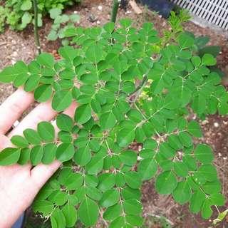 Mdm Ho's Moringa (Homegrown) Potted Plant
