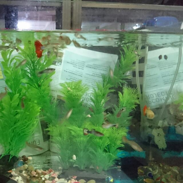Guppy For Sale