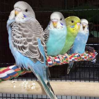 Budgies (Left With Two)