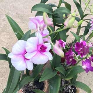 Gorgeous Mini Dendrobium Orchids😍❤️
