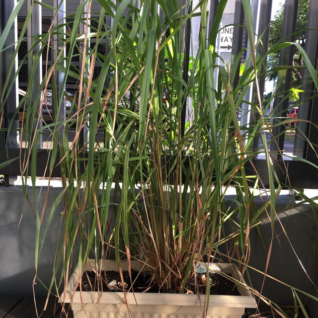 Lemongrass Plant For Sale