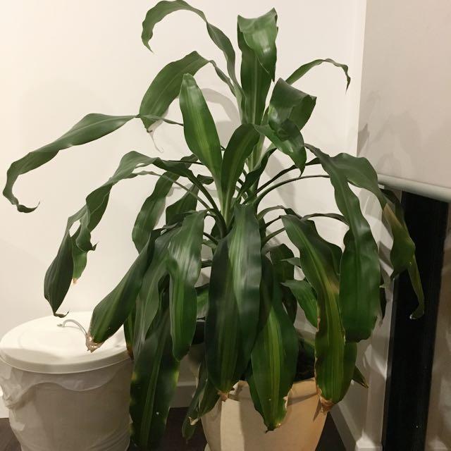 Beautiful Dracaena Massangeana Plant For Sale