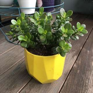 Jade Plant In Yellow Clay Pot For Sale