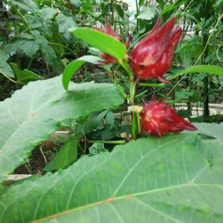 Roselle Seeds Grown Under Organic Conditions