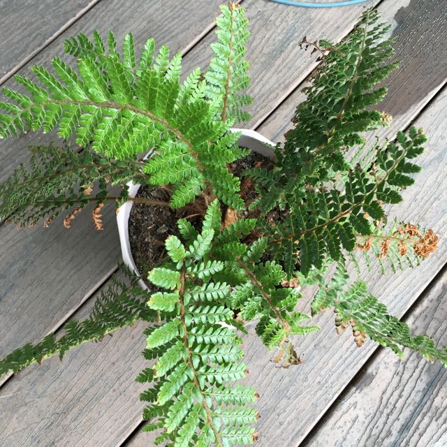 Fern In Pink Clay Pot For Sale